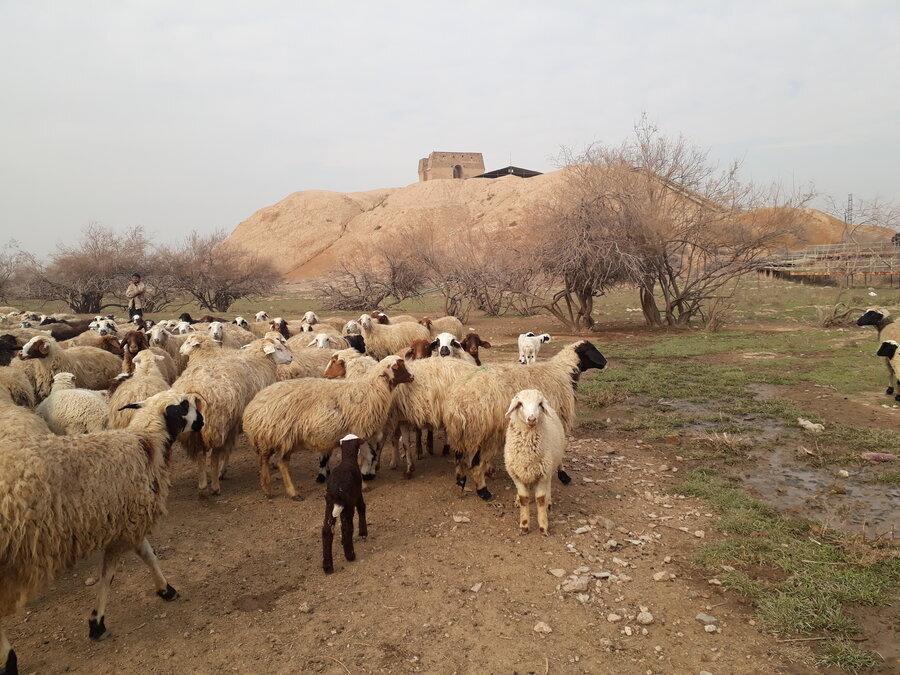 آتشکده ری در آتش بی توجهی ، چرای گوسفندها در بنای دوره ساسانی