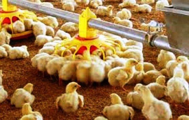 چالش تامین نهاده دامی پیش روی مرغداران، راهکار مناسب نجات صنعت طیور چیست؟