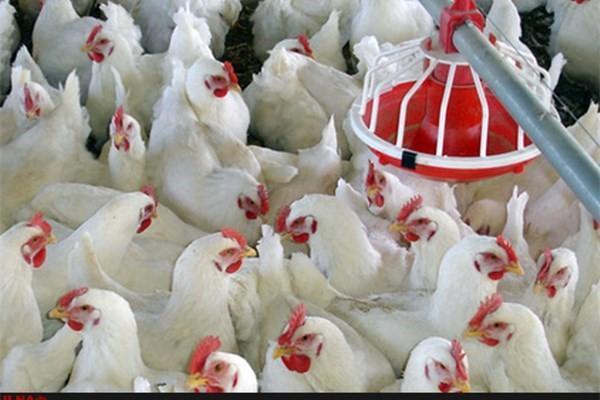 ظرفیت تولید مرغداری ها 40 درصد قابل افزایش است، فقدان حضور صنایع تبدیلی در ایران