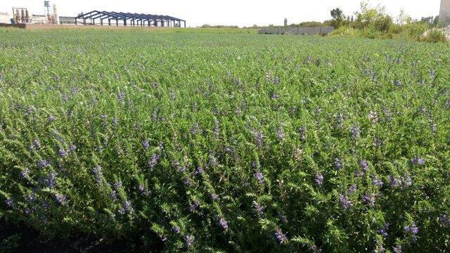 استحصال 2 میلیون لیتر عرق گیاه بادرشبو در آذربایجان غربی