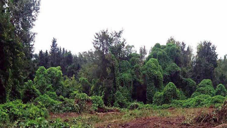 خبرنگاران شناسایی 6 گونه گیاهی مهاجم در جنگل های هیرکانی