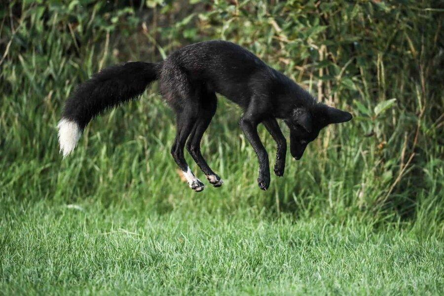 عکس روز ، روباه ملانیستیک