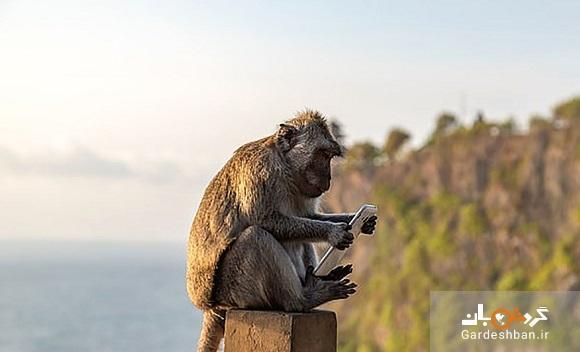 باج گیری عجیب میمون ها از گردشگران در جزیره بالی اندونزی، عکس