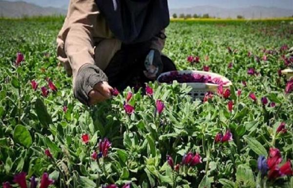 احداث بزرگترین مجموعه فراوری گیاهان دارویی شمال کشور در آمل